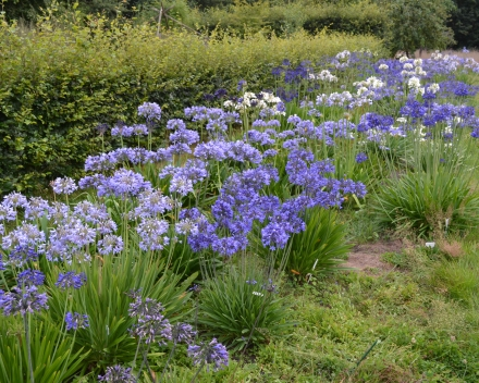 Agapanthus in volle grond