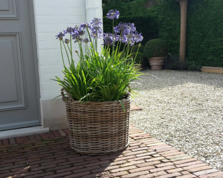 Agapanthus in mand