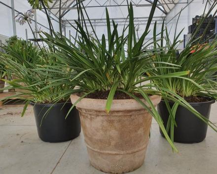 Van één zware plant krijgen we 3 mooie exemplaren