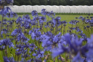 Agapanthus 'Midnight blue'