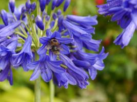 Agapanthus 'Flower of love ®'