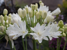Agapanthus 'Double diamond ®' (bladhoudend)