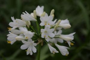 Duplicaat van Agapanthus 'Ever white®' (bladhoudend)