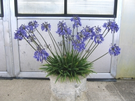 Agapanthus 'Lapis Lazuli' (bladverliezend)