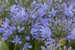 Agapanthus 'Lavender haze' (bladhoudend)