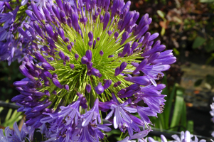 Agapanthus 'Regal beauty' (bladhoudend)