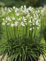 Agapanthus 'Summer love white ®' (bladhoudend)