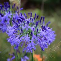 Agapanthus 'Jack's blue'