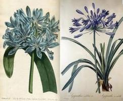 Agapanthus umbellatus par Joseph P. Redouté