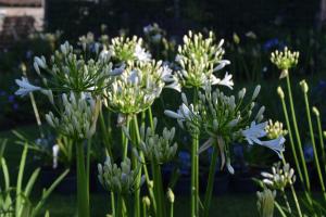 Agapanthus 'Bridal bouquet' (bladhoudend)