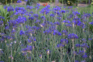 Agapanthus 'Brilliant blue®' (bladhoudend)