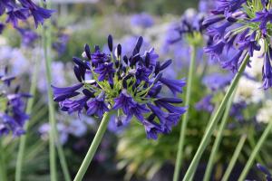 Agapanthus 'Delfts blauw' (bladverliezend)