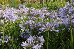 Agapanthus 'Lilac flash' (bladhoudend)