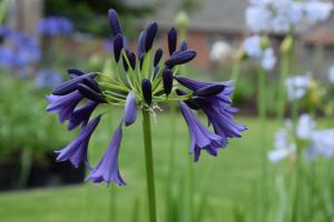 Agapanthus 'Delfts blauw'