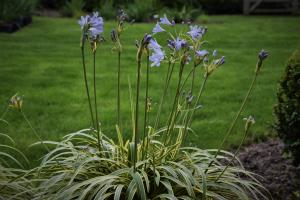 Agapanthus 'Golden drop ®' (bladhoudend)