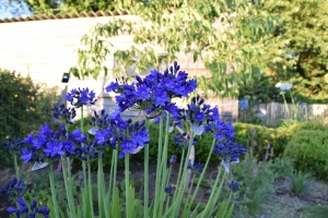 Agapanthus 'Maurice' (bladverliezend)