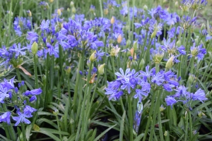 Agapanthus 'Charlotte ®' (bladhoudend)