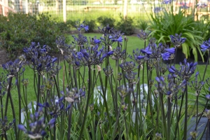 Agapanthus 'Oxford blue'