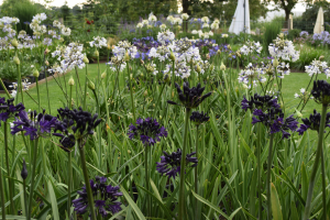 Agapanthus 'Royal velvet' (bladverliezend)