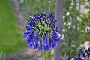 Agapanthus 'Purple Cloud' (bladverliezend)