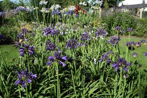 Agapanthus 'Purple delight' (bladhoudend)