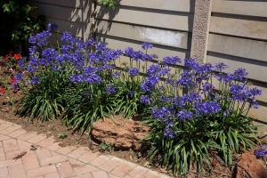 Agapanthus 'Ever Saphire®' (bladhoudend)