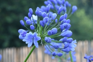 Agapanthus  'Flore pleno' (bladhoudend)