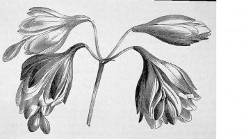 Agapanthus 'Flore pleno'