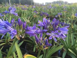 Agapanthus 'Charlotte' nog steeds in bloei in november