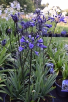 Groter assortiment Agapanthus !