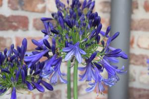 Agapanthus 'Jack's blue' (bladhoudend)