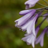 Agapanthus 'Liam's lilac' (bladverliezend)