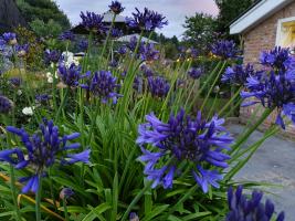 Agapanthus 'Midnight Blue' (bladverliezend)