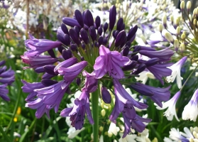 Agapanthus 'Poppin purple®' (bladhoudend)