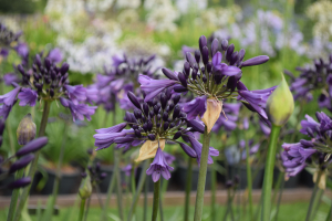 Agapanthus 'Poppin purple ®' (bladhoudend)