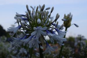 Agapanthus 'Queen mum ®' (bladhoudend)