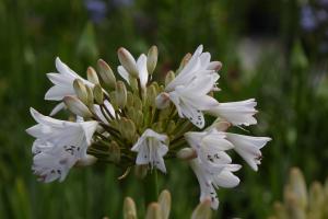 Agapanthus 'White beetle' (bladverliezend)