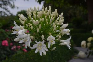 Agapanthus 'White heaven ®' (bladhoudend)