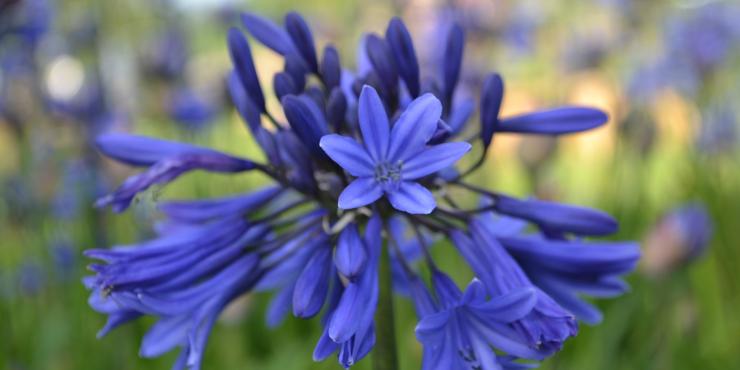 Agapanthus 'Midnight Blue' (à feuillage caduque)