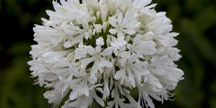 Agapanthus 'Snow cloud' (bladhoudend)