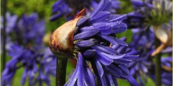 Agapanthus 'Septemberhemel'