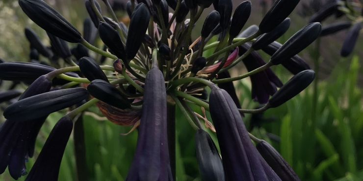 Agapanthus 'Black magic' (bladverliezend)