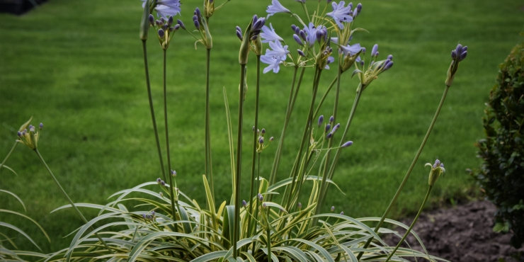 Agapanthus 'Golden drop ®' (bladhoudend)