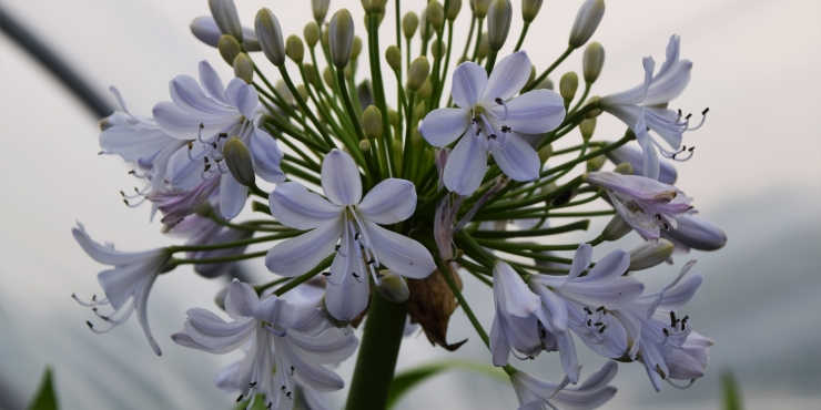 Agapanthus 'Silver mist' (bladverliezend)