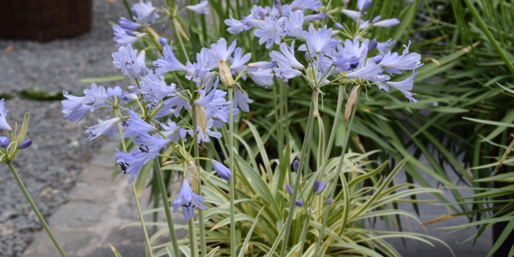 Agapanthus 'Golden drop ®'