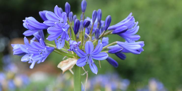 Agapanthus 'Bressingham Blue' (bladverliezend)