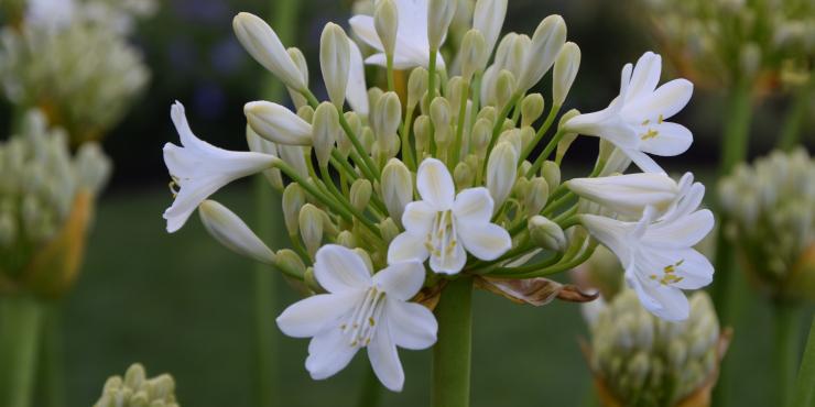 Agapanthus 'Duivenbrugge white' (bladverliezend)