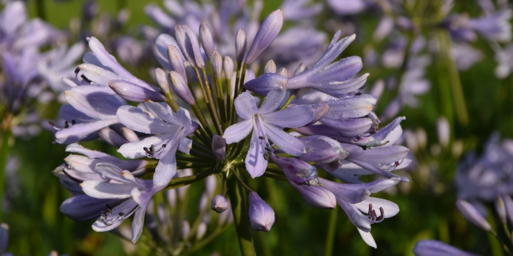 Agapanthus 'Lilac flash' (bladhoudend)