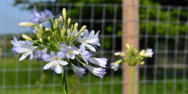 Agapanthus 'Silver baby' (bladhoudend)