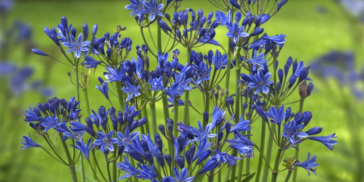 Agapanthus 'Summer love ®' (bladhoudend)